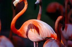 flamingo-red